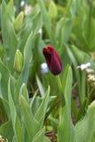 Ensam röd tulpan i ett fält, slut upp royaltyfri foto