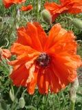 Ensam röd vallmoblomma med biet i en solig dag Arkivfoton