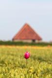 Ensam rosa tulpan framme av en holländsk lantgårdladugård Fotografering för Bildbyråer