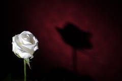ensam rosewhite Royaltyfri Foto