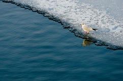 Ensam seagull Arkivfoton