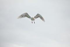Ensam Seagull Arkivbilder