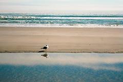 Ensam seagull Royaltyfri Foto