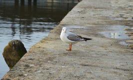 Ensam seagull Fotografering för Bildbyråer