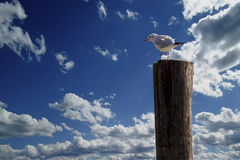 Ensam seagull Royaltyfri Fotografi