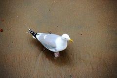 Ensam seagull från höjd Royaltyfri Fotografi