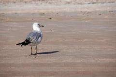 Ensam Seagull med hans fot i sanden arkivfoton