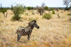 Ensam sebra i Bush av den Kruger nationalparken, Sydafrika Royaltyfria Bilder