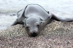 Ensam sjölejonvalp på den Galapagos stranden Royaltyfri Fotografi