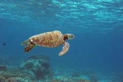 ensam sköldpadda Royaltyfria Bilder