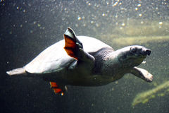 Ensam sköldpadda Royaltyfri Fotografi