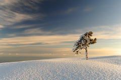 ensam snowtree Arkivfoton