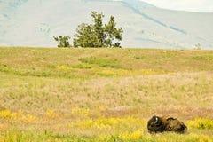 Ensam sova bison på prärie Arkivbilder