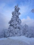 ensam spruce arkivfoto