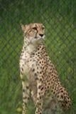 Ensam stående gepard arkivbild