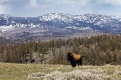 ensam stolt stands för amerikansk bison Fotografering för Bildbyråer
