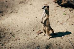 Ensam stor meerkat Fotografering för Bildbyråer