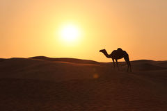 ensam sun för kamelafton Arkivbilder