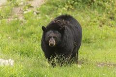 Ensam svart björn i en dal Royaltyfri Bild