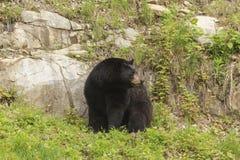 Ensam svart björn i en dal Arkivfoto