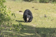 Ensam svart björn som går på djungeln Arkivbilder