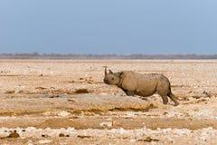 Ensam svart krok-lipped noshörning i den Etosha nationalparken Royaltyfri Bild