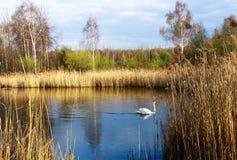 ensam swan arkivfoto