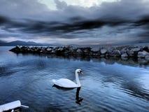 ensam swan Fotografering för Bildbyråer