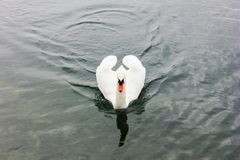 ensam swan arkivbild
