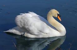 ensam swan för lake arkivfoto