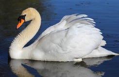 ensam swan för lake fotografering för bildbyråer