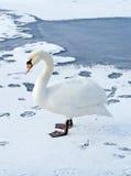 Ensam swan på is Royaltyfri Bild