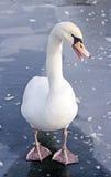 Ensam swan på is Fotografering för Bildbyråer