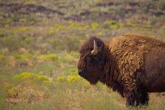 Ensam tjur Bison Stands i gräs royaltyfri foto