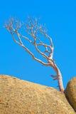 Ensam torr tree arkivfoto