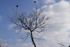 Ensam trädvintertid och en blå himmel Arkivfoton