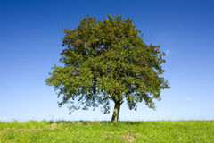 ensam tree för äpple Royaltyfri Foto
