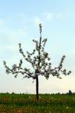ensam tree för äpple Royaltyfria Bilder