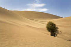 ensam tree för öken Arkivbild