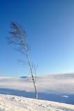 ensam tree för björk Fotografering för Bildbyråer