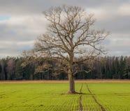 ensam tree för fält Royaltyfri Bild