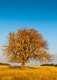ensam tree för höst Arkivbilder