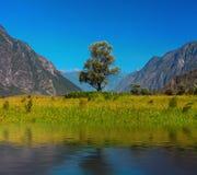 Ensam tree i berg Altai Ryssland Royaltyfri Bild