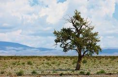 Ensam tree i berg Mongoliet Arkivfoto