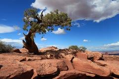 Ensam tree i Canyonlands, Utah Fotografering för Bildbyråer