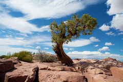Ensam tree i Canyonlands, Utah Royaltyfria Bilder