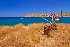 Ensam tree på kusten av Crete Arkivbilder