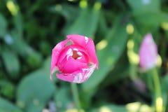 Ensam tulpanblomma i trädgården Magentafärgat och vitt ovanför sikt Royaltyfria Foton