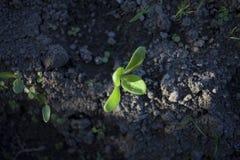 ensam växt i lera Arkivfoto