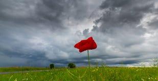 Ensam vallmoblomma som isoleras på härlig himmelbakgrund Royaltyfri Foto